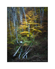 Birch trees #2 (Christos Andronis) Tags: autumn brown yellow scenic tranquility birch beautyinnature δέντρα φθινόπωρο φύλλωμα woodlandstrees δάσοσ ενατένιση