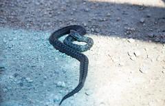 Viper on the road (Yvonne L Sweden) Tags: sweden snake viper orm adder huggorm