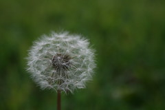 Fluff (stephaniehehn) Tags: beginnerdigitalphotographychallengewinner