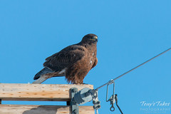 Dark Morph Ferruginous poses on a pole