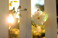 White Rose at Sunrise (Mademoiselle Mermaid) Tags: sunshine sunrise fence earlymorning rosegarden whitefence whiterose whiteroses mademoisellemermaid