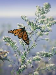 Hola mariposa (Todd (Whitby61)) Tags: lrthefader ajax ontario zeissplanart1450ze canada elnio monarchbutterfly wintermigration colours bokeh lakeontario 2015 september ajaxwaterfront durhamregion beach painterly toddmurrison