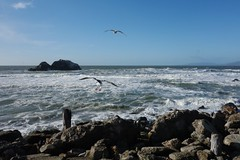 seagulls at Point Lobos (vhines200) Tags: sanfrancisco surf seagull pacificocean landsend pointlobos 2015
