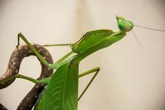 DSC_1942 (xav_roberts) Tags: amateur entomology mantis praying mantid carnivore