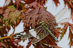 174-365 (r6-m7) Tags: 365 365project libelle insekt macro