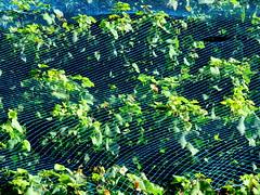 Beneath the net (oobwoodman) Tags: switzerland suisse schweiz genfersee grandvaux lakegeneva lman lake lac lausanne lavaux grapes trauben raisins vendange harvest ernte
