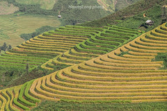 Y9504.0916.Xm Vng.Bc Yn.Sn La (hoanglongphoto) Tags: asia asian vietnam northvietnam northwestvietnam outdoor landscape scenery vietnamlandscape vietnamscenery terraces terracedfields harvest mountain flank curve curves abstract terracedfieldsinvietnam terracedfieldslandscape terracedfieldsscenery canon canoneos1dx canonef70200mmf28lisiiusmlens tybc snla bcyn xmvng ngoitri phongcnh rungbcthang lachn magt rungbcthangxmvng phongcnhbcyn ni snni ngcong trutng