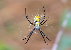 banded argiope female (Argiope trifasciata) at Ludwig Preserve IA  854A3367 (lreis_naturalist) Tags: banded argiope spider female trifasciata ludwig preserve winneshiek county iowa larry reis