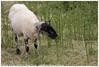 Stadskudde Grunn (Dit is Suzanne) Tags: 11062016 img9273 nederland netherlands нидерланды groningen гронинген reitdiep ©ditissuzanne canoneos40d wandeling walk прогулка лето summer zomer stadskudde stadskuddegrunn schaap sheep овца stadskuddegroningen