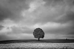 """""""The Tree - October 2016"""" (helmet13) Tags: d800e raw bw landscape agriculture thetree chestnut rapeseed meadow autumn sky clouds tractor field space simplicity peaceful aoi heartaward peaceaward world100f platinumheartaward 200faves"""