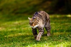 IMG_1612 (TvdMost) Tags: bwc britishwildlifecentre felissilvestris scottishwildcat wildcat wildekat