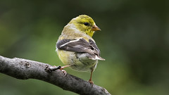 Are You Watching Me_DSC6243 (DansPhotoArt) Tags: alert aves backyard balance bird colorful fauna fragile free fresh garden goldfinch nature onthemove passaros wildlife wings