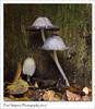 Ink Caps (Paul Simpson Photography) Tags: nature naturalworld mushroom inkcap fungi autumn autumncolour paulsimpsonphotography photosof plantlife photoof imageof imagesof fungal october2016 sonya77 sonyphotography naturephotos automne mushrooms