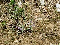 Cirsium creticum 8 (heinvanwinkel) Tags: 2013 kastraki