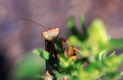 Ambush predator (TJ Gehling) Tags: insect dictyoptera mantodea mantidae prayingmantis europeanmantis mantis mantisreligiosa canyontrailpark elcerrito
