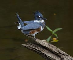Belted Kingfisher (AllHarts) Tags: beltedkingfisher wapanoccanwr turrellar avianexcellence naturesharmony naturescarousel ngc npc