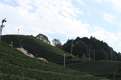 Autumn harvest in Wazuka (Obubu Tea Farms) Tags: countryside farming fields green greentea harvesting japan tea teafarm teafields wazuka