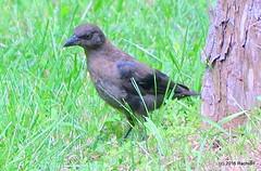 DSC_0106 (rachidH) Tags: birds oiseaux grackle quiscale commongrackle quiscalusquiscula quiscalebronz sparta franklin nj rachidh nature