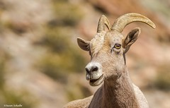 Portrait of a bighorn (Photosuze) Tags: sheep bighornsheep female peninsularbighornsheep threatened animals nature wildlife females portraits faces mammals oviscanadensis