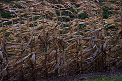 corn stalks in the wind (f8shutterbug) Tags: idb corn wind stalks leaves sigma70300