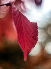Herbstblatt, rot (novofotoo) Tags: baum bume herbst herbstblatt himmel lichter natur rot autumn lights nature orange red sky tree trees meyergrlitzoreston50mmf18