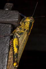 Yellow Jumpsuit - _TNY_7332 (In Explore 18/10) (Calle Sderberg) Tags: macro canon5dmkii canonef100mmf28usmmacro canon canoneos5dmarkii yn14ex yongnuo ringflash flash insect grasshopper yellow locust orthoptera thailand kohmook kohmuk