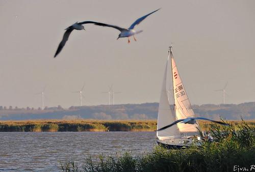 Lake Landscape Sailing Birds Tó Táj Vitorlás Madarak