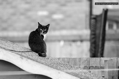 Sooty keeping a lookout! (SteveH1972) Tags: cat cats canonef70200mmf28lusm animal pet garden bartonuponhumber northlincolnshire northernengland uk england britain outdoor outdoors outside home canon700d canonef70200f28lusm blackandwhite monochrome black white