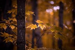Spotlight on the Fall Colors (BryanNewland) Tags: leaves fall autumn highlight spotlight trees fallcolors michigan hiawathanationalforest baymillsindiancommunity upperpeninsula