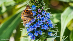 M2207768.jpg (Roger OZ) Tags: blue bugorinsect fauna flora butterfly colours