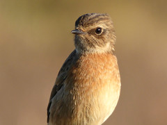 Female Stonechat (Peanut1371) Tags: stonechat chat bird nationalgeographicwildlife