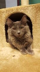Canagan (DDA1) Tags: kitten saveapetilorg adoption adoptionshelter adoptioncenter adoptable adopt longhair graycat