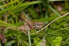 Roeseliana (metrioptera) roeselli (jp vacher) Tags: roeseliana metrioptera roeselli orthoptera grasshopper tettigoniidae ensifera