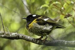 Male stitchbird, Zealandia, Wellington (ROGERBEE.) Tags: wellington newzealand newzealandbirds birds zealandia karori