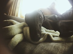 Ozzy (ANNA GIBSON) Tags: whippet dog wide angle