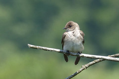 Northern Rough-winged Swallow (Delta Naturalists Casual Birding) Tags: 201519 dncb colony dncblocation dncboutingid