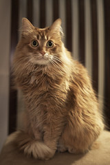 Mandy Monday: Pretty Curly Tail (Photo Amy) Tags: adorable aminal canon50d cat cuddly cute cuteness ef50mm18 eartufts feline fluffy fur furry ginger kitten longhair longhaired orange pet precious red tabby toefur whisker whiskers
