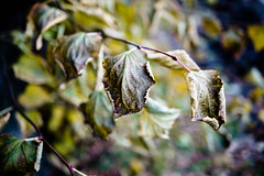 Leaves (squeex) Tags: leaf leaves fall outdoor purplegreen autumn dying branch foliage