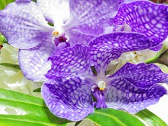 Orchids -  (Simmy Sachart) Tags: nature beautiful flora blossom violet purple outdoor flowers love bangkok