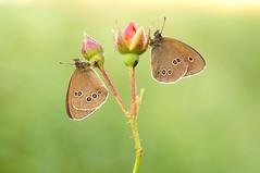 Episode one... (Zbyszek Walkiewicz) Tags: butterflies butterfly sony closeup sunrise ngc coth5 npc