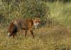 Fox. (JurgenMaassen) Tags: fox redfox vulpesvulpes vos rodevos vulpes renardroux canoneos7dmarkii ef100400mmf4556lisiiusm14xiii fuchs