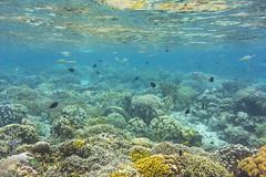 Sulawesi - Siladen - reef (elebe.foto) Tags: siladen indonesia reef scubadiving uw