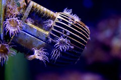 ...i dla ukwiaw (stempel*) Tags: pentax k30 50mm gambezia espanya hiszpania katalonia cataluna barcelona akwarium aquarium ukwia anemone water underwater