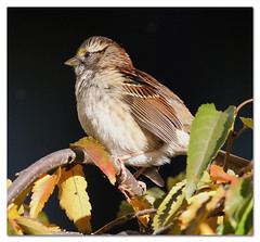 White-throated Sparrow (Redtail10025) Tags: birds city nyc parks urban wildlife sparrows whitethroated