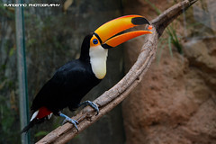 Toco toucan - Avifauna (Mandenno photography) Tags: bird birds toekan toco toucan avifauna nederland netherlands dierenpark dierentuin dieren animal animals ngc
