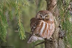 Sleepy Northern Saw-whet Owl (Daniel Cadieux) Tags: owl northernsawwhetowl forest woods sleep sleepy sleeping evergreen ottawa