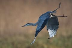 Graureiher 043 (bertheeb) Tags: graureiher reiher wasservogel