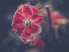 Frozen (Stadt_Kind) Tags: popular flickr herbst autumn europe germany bavaria kempten stadtkind olympusm124028pro olympusem10markii depthoffield dof bokehaddicts bokehlicious bokeh frost gefroren frozen petal blte blume fleur flores flower wow