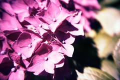 flower close-ups (somekeepsakes) Tags: 2012 lca lomographytungstenx64 lomographyxtungsten analog analogue blume closeup closeuplens crossprocessed europa europe film flower garden garten lomo xpro
