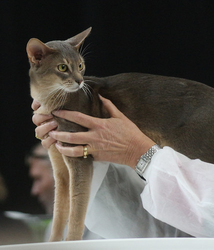 Abyssinian Cat, Blue Ticked Tabby